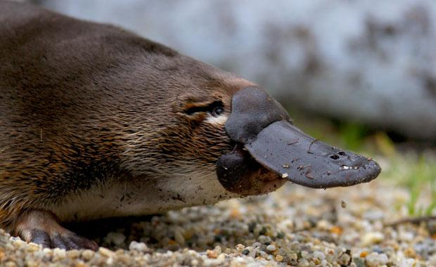 Oh, there's a platypus - Off Track - ABC Radio National Australian Broadcasting Corporation